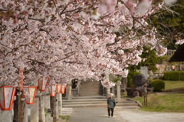 3.30八王子桜