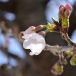 2017年高知県鏡野公園・八王子宮その他 桜開花情報