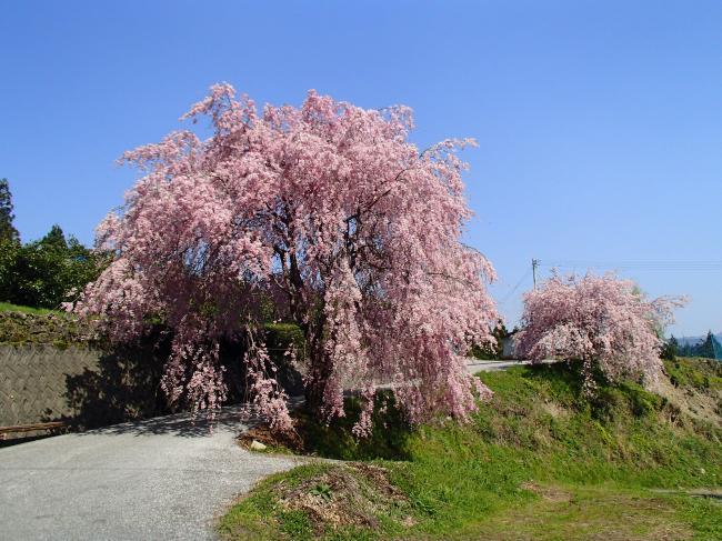 頓所のしだれ桜