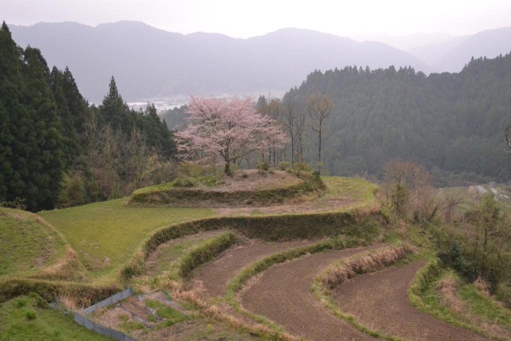 有瀬の一本桜