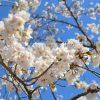 2018年高知県鏡野公園桜開花情報(4/13更新)