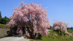 高知県 桜の名所一覧(香美市)鏡野公園・八王子宮・平山親水公園・有瀬・頓定のしだれ桜