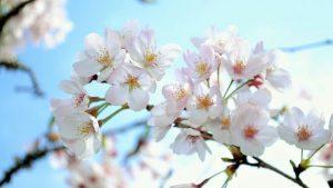 2018年高知県平山、有瀬、頓定桜開花情報(4/16更新)